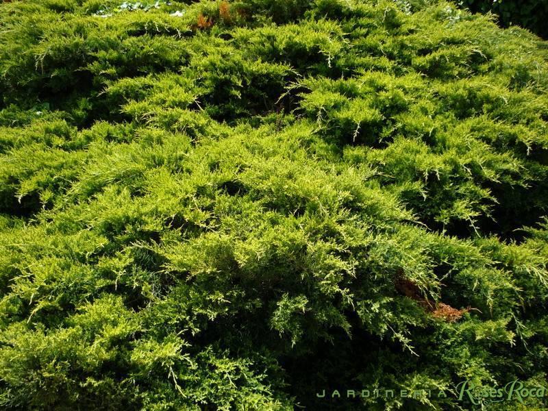 JardineriaRosesRoca17